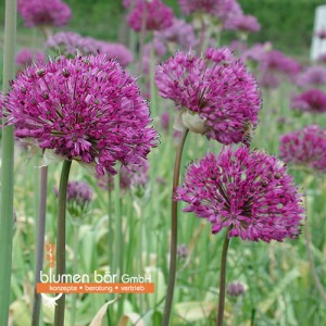 Allium Violett 5 Zwiebeln