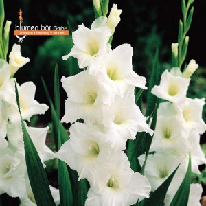 Gladiolen 25 Zwiebeln Weiß