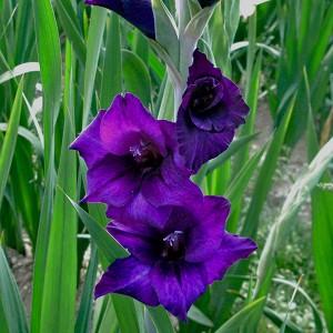 Gladiolen 50 Zwiebeln Violett
