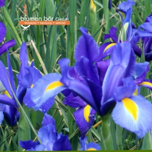 Iris Mix 10 Zwiebeln