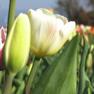 Tulpen Weiß 250 Zwiebeln