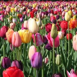 Tulpen Mischung 50 Zwiebeln