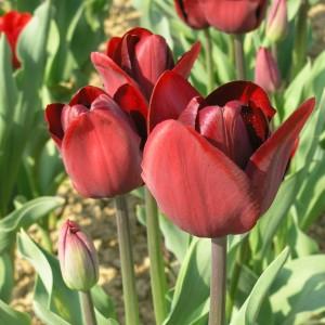 Tulpen Rot 10 Zwiebeln