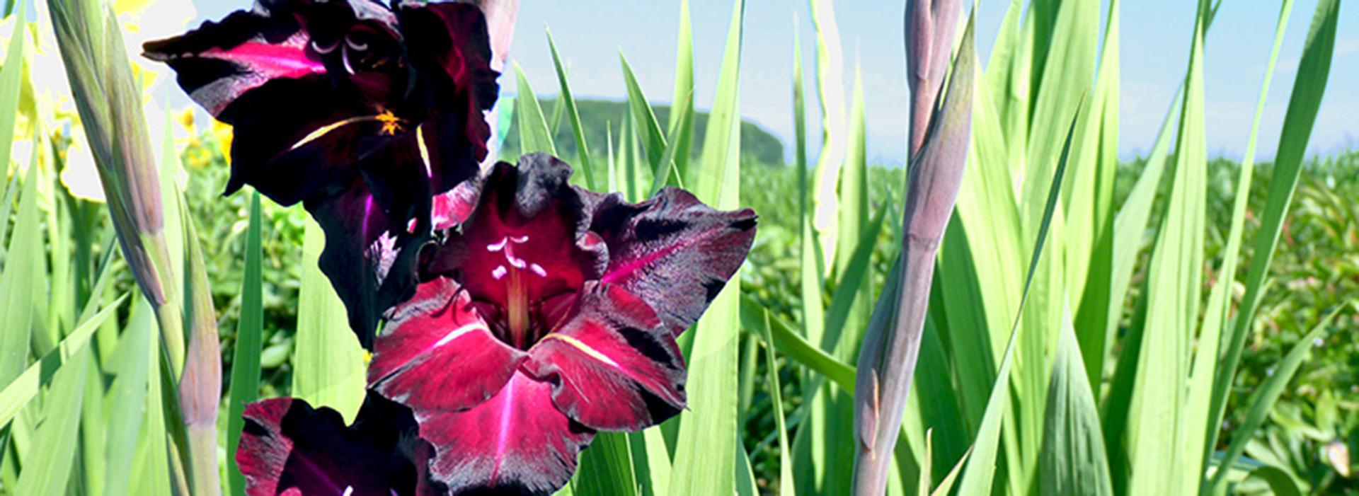 Gladiolen & Dahlien